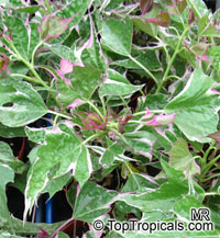 Ipomoea batatas Pink Frost, Potato Vine Pink Frost  Click to see full-size image