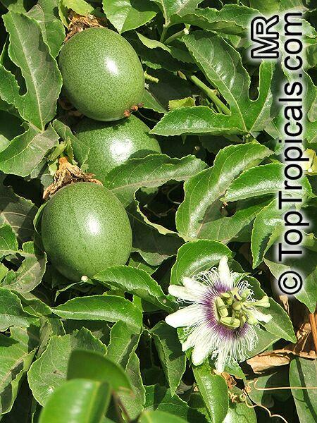 passiflora edulis passion fruit parcha maracuya