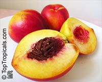Prunus sp. - Sunbest Nectarine, Low chill, Grafted  Click to see full-size image