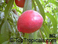 Prunus persica var. nectarina, Nectarine  Click to see full-size image