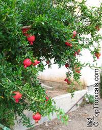Punica granatum, Pomegranate, Granada, Grenade, Pomegranate, granada, Anar, Granaatappel, Pomo Granato, Romeira, Melo GranoClick to see full-size image