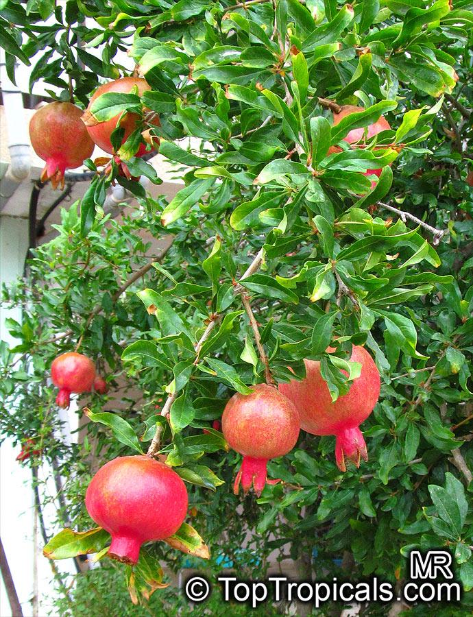 punica granatum pomegranate granada grenade pomegranate granada