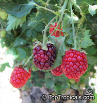 Rubus fruticosus , Blackberry, Dewberry   Click to see full-size image