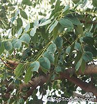 Sclerocarya birrea, Marula  Click to see full-size image