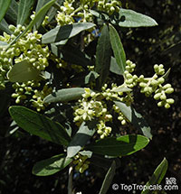 Olea europea, Olive  Click to see full-size image