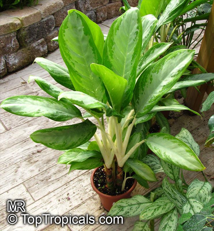Aglaonema Sp., Chinese Evergreen