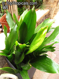 Aspidistra sp., Cast Iron Plant  Click to see full-size image
