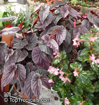 Begonia sp., Begonia  Click to see full-size image
