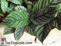 Calathea ornata, Calathea majestica, Calathea  Click to see full-size image