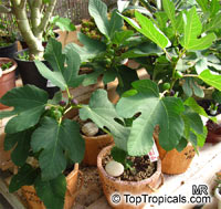 Ficus carica, Fig Tree, Brevo