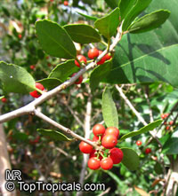 Ilex vomitoria, Yaupon Holly  Click to see full-size image