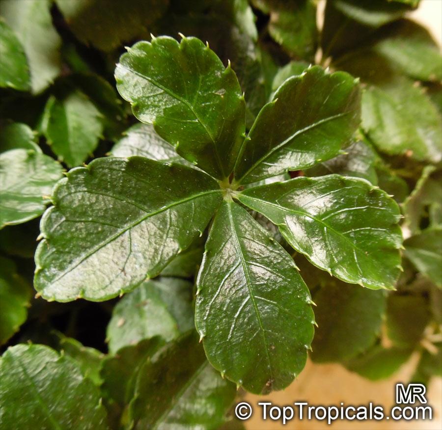 Cissus Striata Vitis Striata Parthenocissus Striata