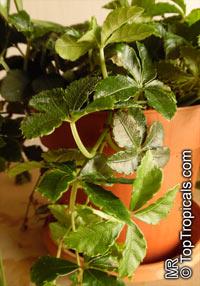 Cissus striata, Vitis striata, Parthenocissus striata, Sugar Vine, Miniature Grape Ivy, Ivy of UruguayClick to see full-size image