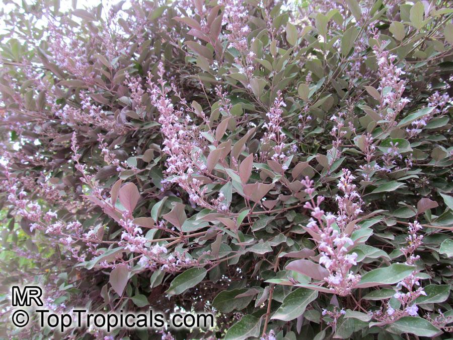 Vitex Trifolia Purpurea Arabian Lilac Toptropicals Com
