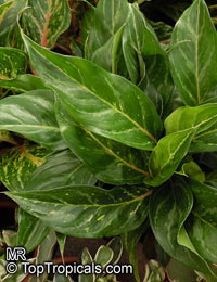 Aglaonema sp., Chinese EvergreenClick to see full-size image