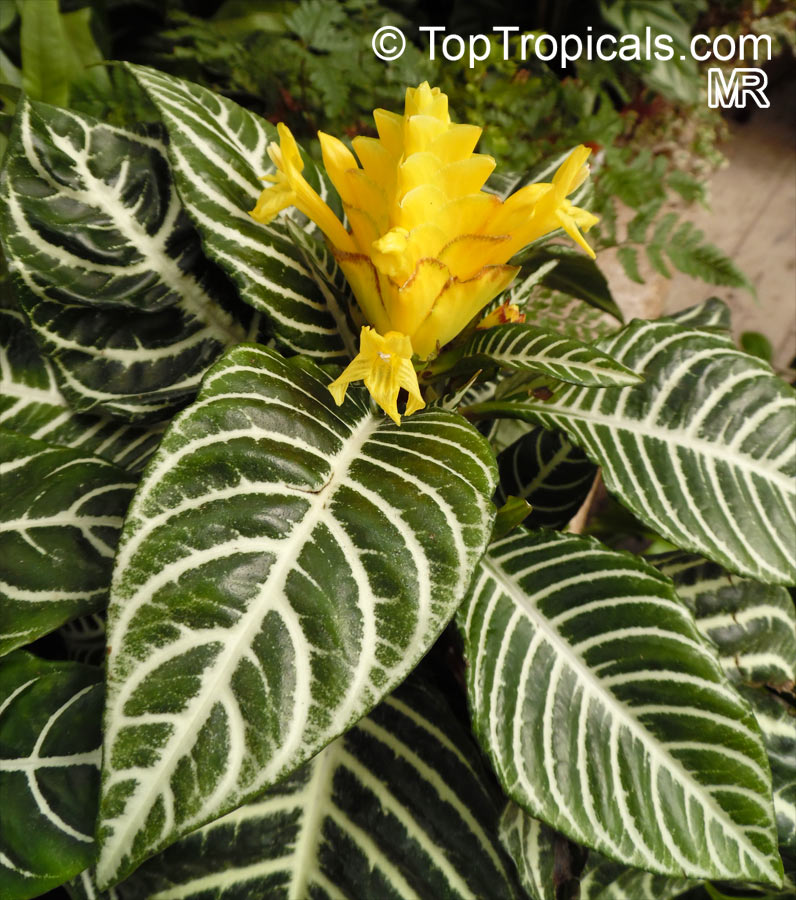 Which Plant Was Native To The New World: Aphelandra Squarrosa, Zebra Plant