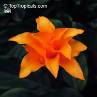 Calathea crocata, Eternal flameClick to see full-size image