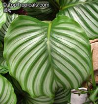 Calathea orbifolia, Peacock Plant  Click to see full-size image