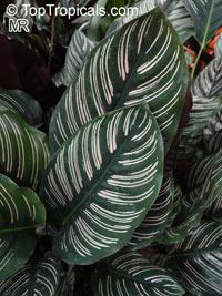Calathea ornata - Pin-Stripe Calathea  Click to see full-size image