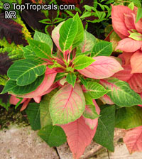 Euphorbia pulcherrima, Ponsettia, Poinsettia, Christmas Plant, PoincettiaClick to see full-size image