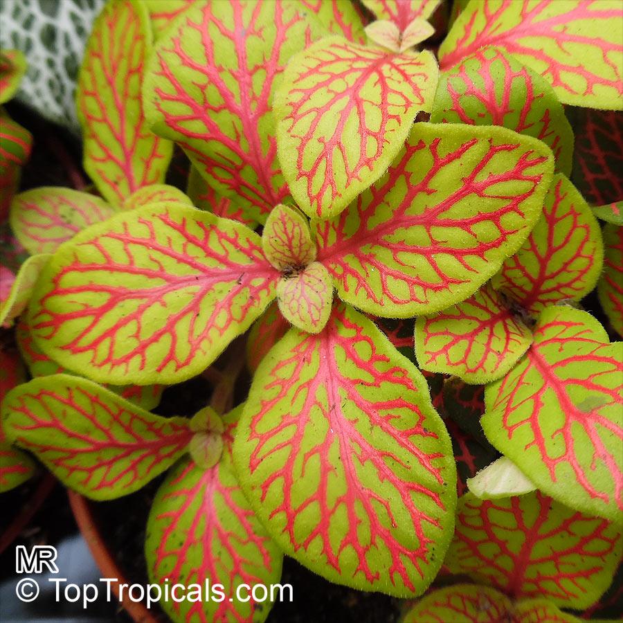 Fittonia Verschaffeltii Mosaic Plant Nerve Plant
