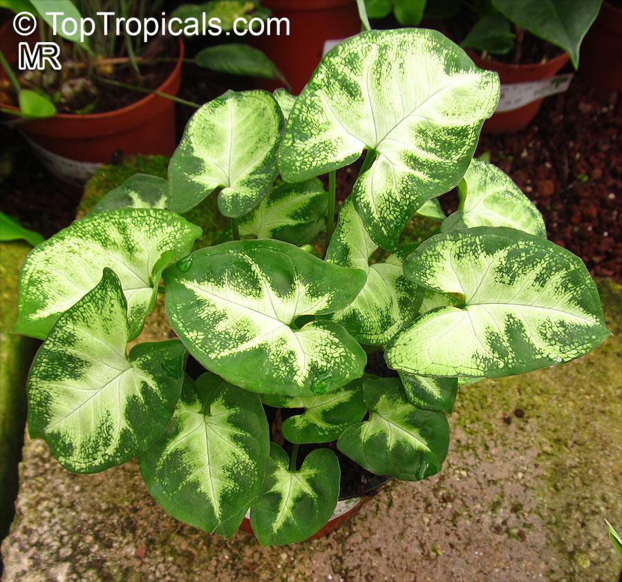 syngonium podophyllum  arrowhead vine  nephthytis  african evergreen