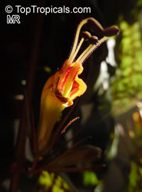 Aeschynanthus longicaulis, Aeschynanthus marmoratus, Zebra Basket VineClick to see full-size image