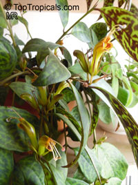 Aeschynanthus longicaulis, Aeschynanthus marmoratus, Zebra Basket Vine  Click to see full-size image