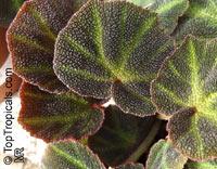 Begonia soli-mutata, Rhizomatous Begonia  Click to see full-size image