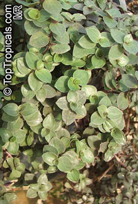 Callisia repens - Turtle Vine, Inch plant