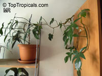 Philodendron sp., Guacamayo, Papaya de Monte  Click to see full-size image