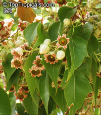 Brachychiton populneus - seeds  Click to see full-size image