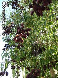 Brachychiton populneus, Kurrajong, Bottle TreeClick to see full-size image