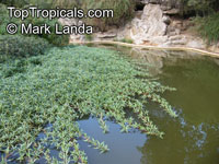 Ludwigia peploides, Floating Primrose Willow, Creeping Water Primrose, Marsh PurslaneClick to see full-size image