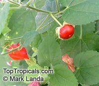 Malvaviscus arboreus drummondii, Hibiscus drummondii, Pavonia drummondii, Dwarf mallow, Sleepy Hibiscus, Turk's Cap, Firecracker Hibiscus  Click to see full-size image