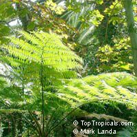 Cyathea australis, Alsophila australis, Rough Tree FernClick to see full-size image