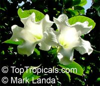 Beaumontia sp., Easter Lily Vine, Heralds Trumpet, Nepal Trumpet Flower  Click to see full-size image