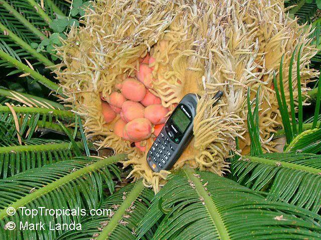 Cycas Revoluta Flower Cycas Revoluta Sago Palm