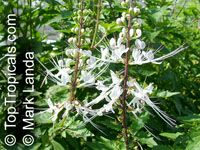 Orthosiphon stamineus, Ocimum aristatum, Orthosiphon aristatus, Cat's Whiskers  Click to see full-size image