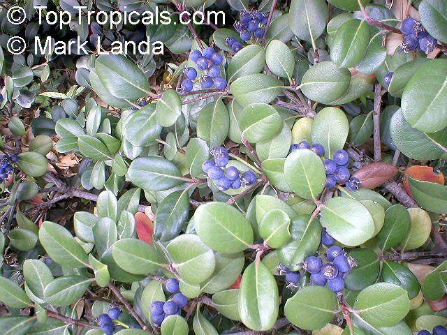 Rhaphiolepis umbellata raphiolepis umbellata yeddo for Indian food hawthorne