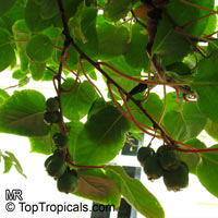 Actinidia arguta, Hardy Kiwifruit, Kiwi Berry, Arctic Kiwi, Baby Kiwi, Dessert Kiwi, Grape Kiwi, Northern KiwiClick to see full-size image