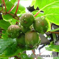 Actinidia arguta, Hardy Kiwifruit, Kiwi Berry, Arctic Kiwi, Baby Kiwi, Dessert Kiwi, Grape Kiwi, Northern Kiwi  Click to see full-size image