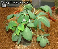 Adenia glauca, Adenia  Click to see full-size image