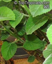 Adenia keramanthus, Adenia  Click to see full-size image
