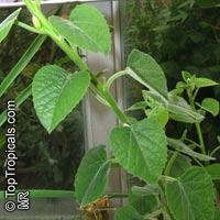 Adenia keramanthus, AdeniaClick to see full-size image