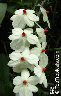 Aerangis luteoalba, Angraecum rhodostictum, Beige Aerangis  Click to see full-size image