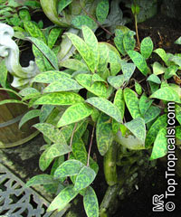 Aeschynanthus marmoratus, Zebra Basket VineClick to see full-size image