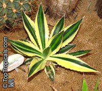 Agave sp., Agave  Click to see full-size image