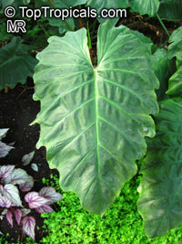 Alocasia macrorrhiza, Giant Taro, Giant Elephant Ear, Upright Elephant Ear, Pai