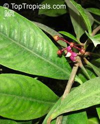Ardisia wallichii, ArdisiaClick to see full-size image
